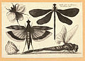 Wenceslas Hollar - Dragonflies and a bumble bee (State 1).jpg