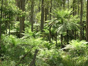 Werrikimbe National Park - Tree ferns in Werrikimbe National Park