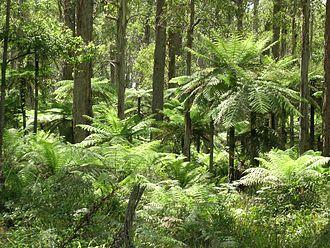 Yarrowitch, New South Wales - Tree ferns, Werrikimbe National Park, Yarrowitch, NSW