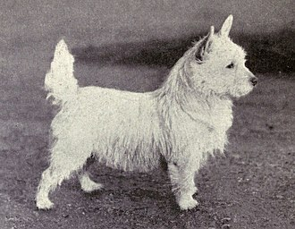 West Highland White Terrier - A West Highland White Terrier, photographed in 1915
