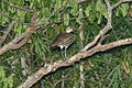 West Indian Whistling-Duck 2506131621.jpg