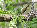 Western Crowned Warbler (Phylloscopus occipitalis) (48332229861).jpg