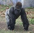 Western lowland gorilla (4531337254).jpg