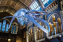 Whale skeleton hanging from ceiling
