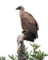White-backed Vulture, Gyps africanus, at Kruger National Park (13911745585).jpg