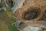 White-breasted Woodswallow chicks in nest.jpg