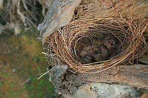 image of White-breasted Woodswallow chicks in nest