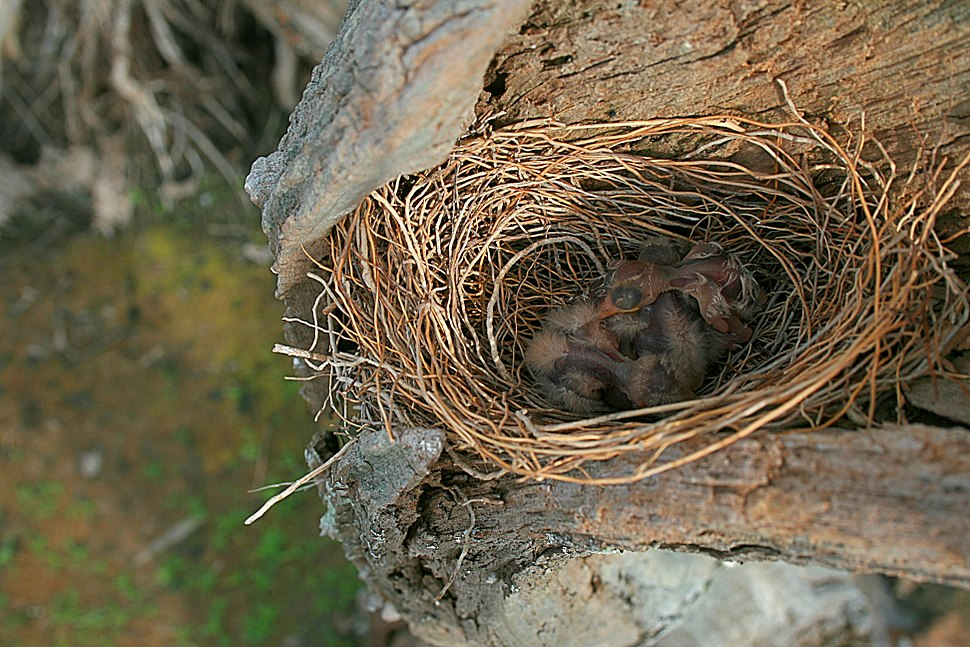 White-breasted Woodswallow chicks in nest