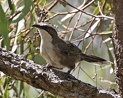 White-browed Babbler (Pomatostomus superciliosus).jpg