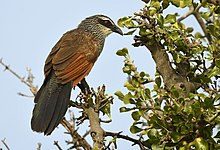 White-browed Coucal SS.jpg