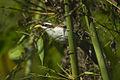 White-browed Scimitar-babbler - Bhutan S4E1167 (19463333266).jpg