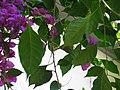 White-throated Gerygone Nesting 2.jpg