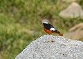 White-winged Redstart (Phoenicurus erythrogastrus) (27967314524).jpg