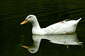 White Duck Body Shap.jpg