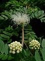 White Powderpuff (Calliandra haematocephala 'Alba') 3.jpg