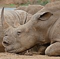 White Rhino (Ceratotherium simum) (31705479863).jpg