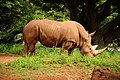 White Rhinoceros (5213908758).jpg