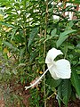 White coloured hibiscus.jpg