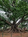 White silk cotton tree- LAL Bhag- Bengaluru 01.jpg