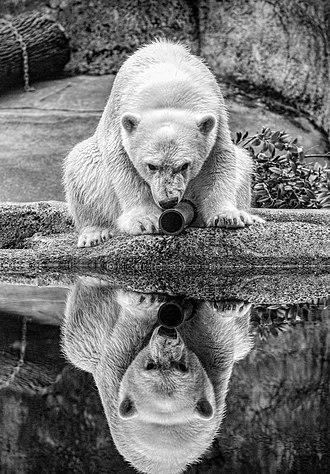 Columbus Zoo and Aquarium - Nora, born on November 6, 2015, was the first polar bear born and raised at the zoo since the opening of Polar Frontier. She now resides at the Hogle Zoo in Utah.