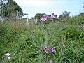Wild Basil - Clinopodium vulgare - geograph.org.uk - 1479279.jpg