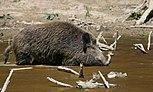 Wild Boar Habbitat.jpg
