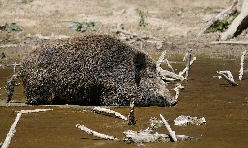 File:Wild Boar Habbitat.jpg