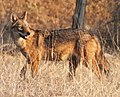 Wild Jackal in Pench National Park , Madhya Pradesh, India.jpg