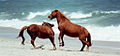 Wild Ponies of Assateague Island.jpg