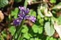 Wild Purple Iris (2547265231).jpg