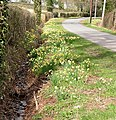 Wild daffodils bordering a country road - geograph.org.uk - 729995.jpg