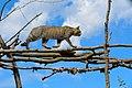 Wildcat on the move.jpg