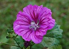 Wilde Malve - männliche Blütenphase DSC 6709a.jpg