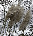 Wind blown pampas (4103264369).jpg