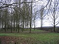 Windbreak near Over Peover - geograph.org.uk - 107585.jpg