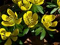 Winter Aconite (Eranthis hyemalis).jpg