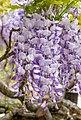 Wisteria sinensis, Christchurch Botanic Gardens, Canterbury, New Zealand 24.jpg