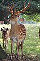 WoburnAbbey Deer02.JPG