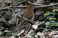 Wood Thrush Fall Out 2 Sabine Woods TX 2018-04-09 12-43-02 (40795074614).jpg