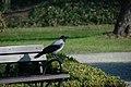 Wrona siwa.jpg