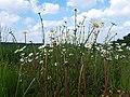 Wunderschöne Margeriten in Altendiez am Waldrand.jpg