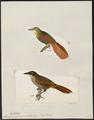 Xenops rufosuperciliata - 1700-1880 - Print - Iconographia Zoologica - Special Collections University of Amsterdam - UBA01 IZ19200203.tif