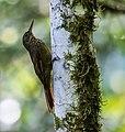 Xiphorhynchus chunchotambo - Tschudi's Woodcreeper (cropped).jpg