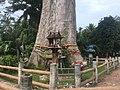 Yang Na Yai Tree 3.jpg