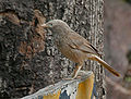 Yellow-billed Babbler (Turdoides affinis) at Hyderabad, AP W 001.jpg