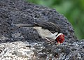Yellow-billed Cardinal (38006445502).jpg