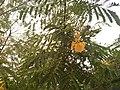 Yellow Gulmohar Varikuntapadu Dec262018.jpg