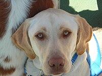 Labrador Retriever coat colour genetics - Wikipedia