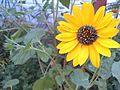 Yellow Sunflower.jpg