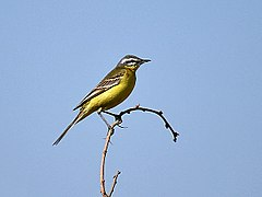 Yellow Wagtail (Male- beema race) Im IMG 9617.jpg